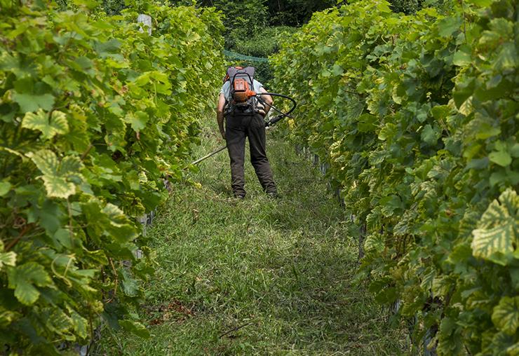 La viticulture menacée par les changements climatiques